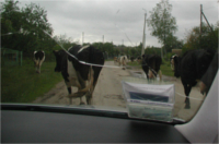 Herde Kühe aus den Auto Fotografiert