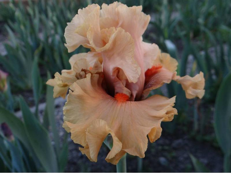 Noch bis zum 10. Juni lädt das VIA REGIA-Schloss Radomysl zum Iris-Festival ein. Jetzt stehen die Blumen in voller Blüte.